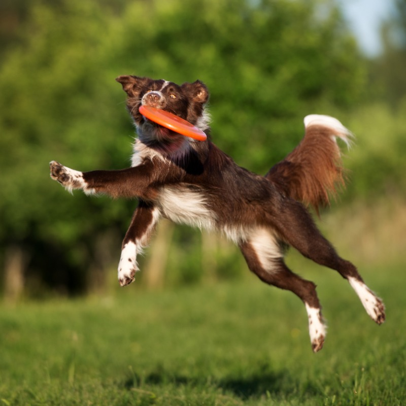 border-collie-dog-playing-frisbee-picture-id584569988