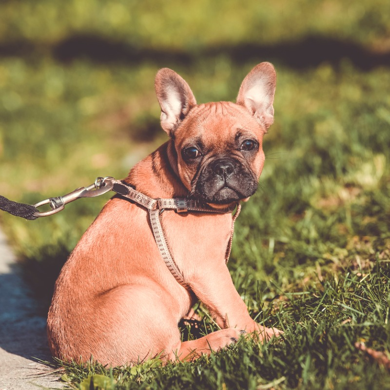 french-bulldog-in-a-park-picture-id688005764