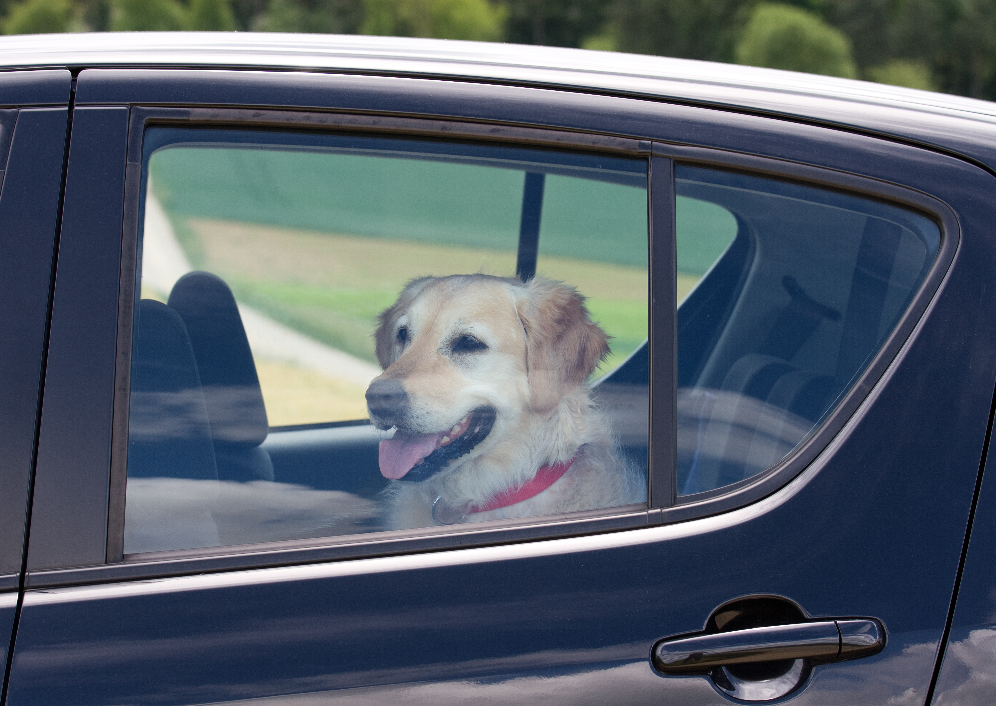 Dog sitting in the back seat of a black car