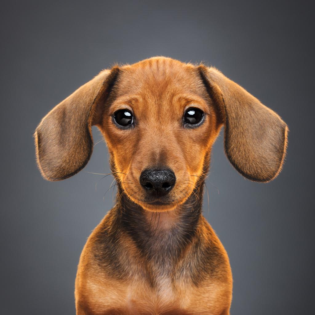 Teckel puppy dog portrait